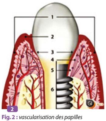 vascularisation-des-papilles