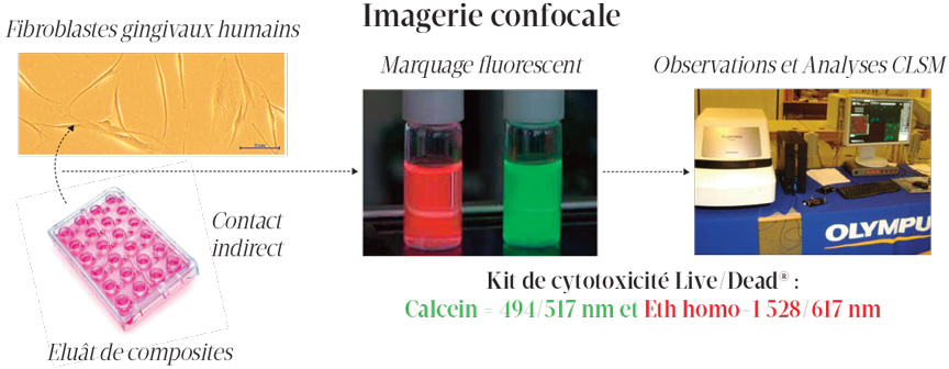 imagerie-confocale