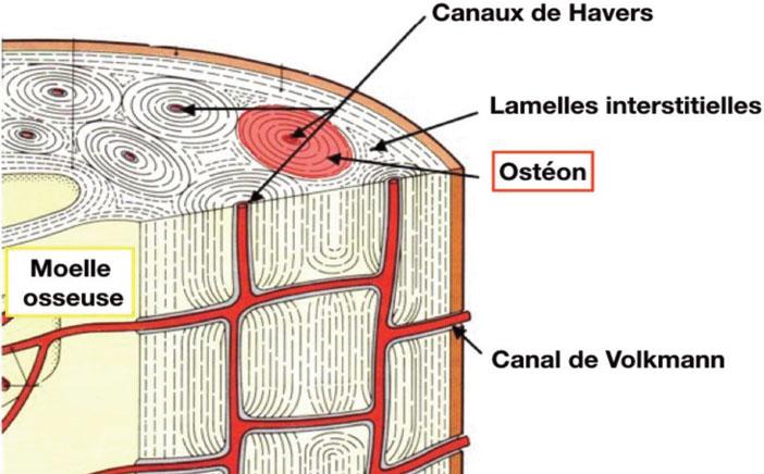 organisation-du-tissu-osseux-cortical